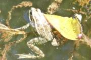 Les grenouilles sont de sortie !