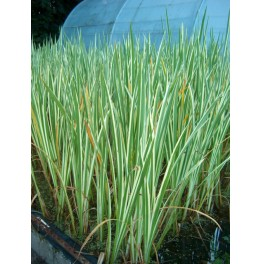 plante aquatique acorus