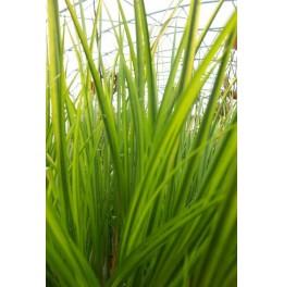 plante aquatique emergente