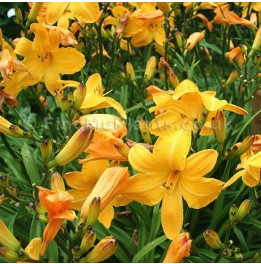 Hemerocallis divers