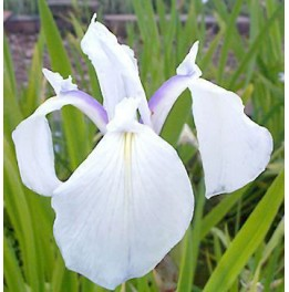 Iris laevigata snow drift