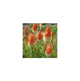 Kniphofia orange