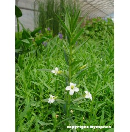 Gratiola officinalis