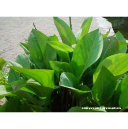 plante aquatique commencant par l