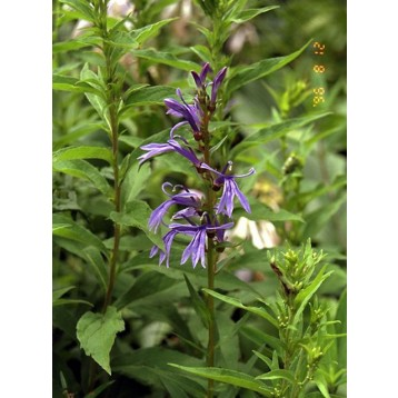 Lobelia sessifolia