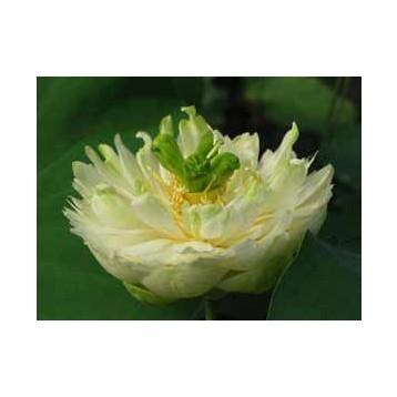 Lotus xiao bitai blanc double 15 litres