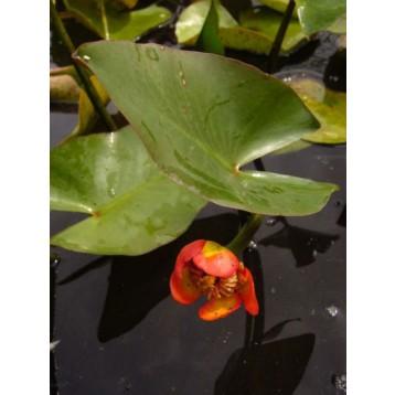 Nuphar japonica