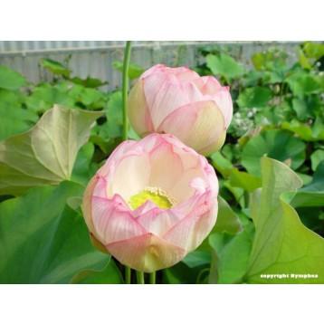 Lotus chawan basu rose et blanc