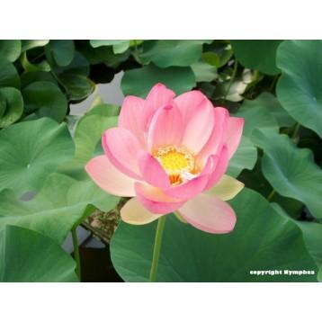 Lotus nelumbo nucifera 15 litres