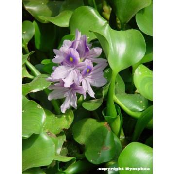 Eichornia crassipes (jacinthe)