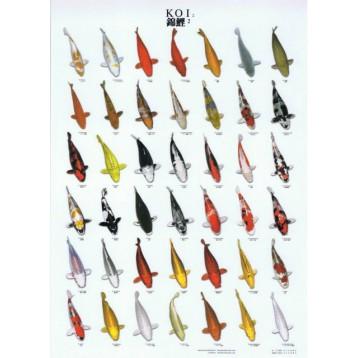 Poster Koï plastifié nr 2